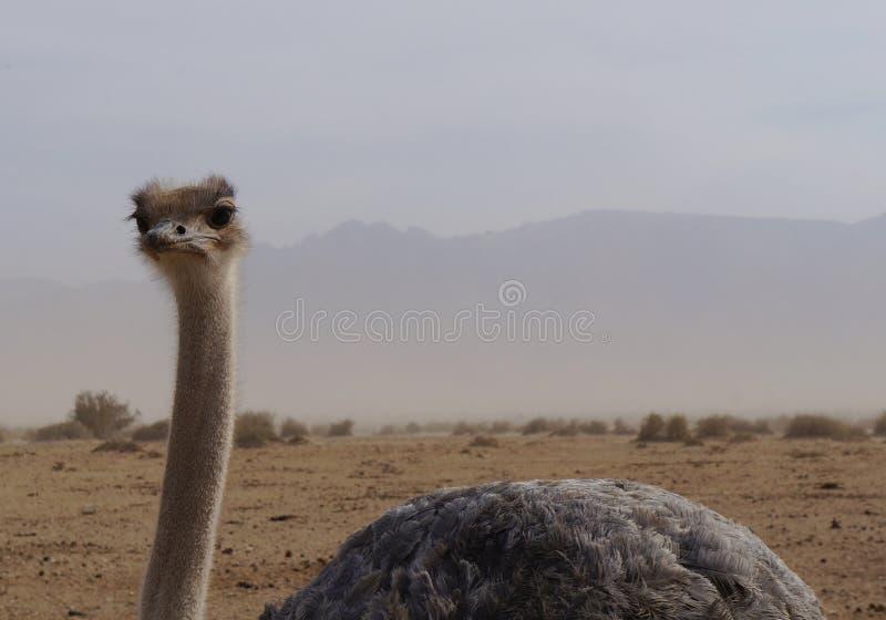 女性非洲驼鸟走 库存图片