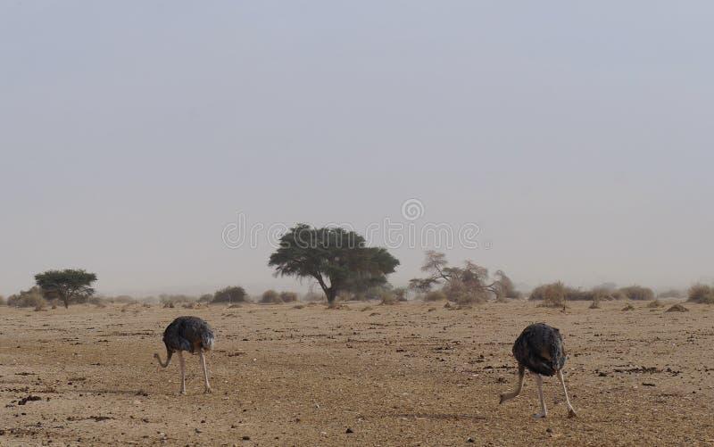 女性非洲驼鸟走 免版税库存图片
