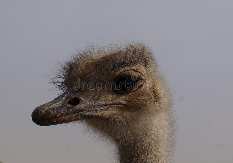 女性非洲驼鸟走 库存照片