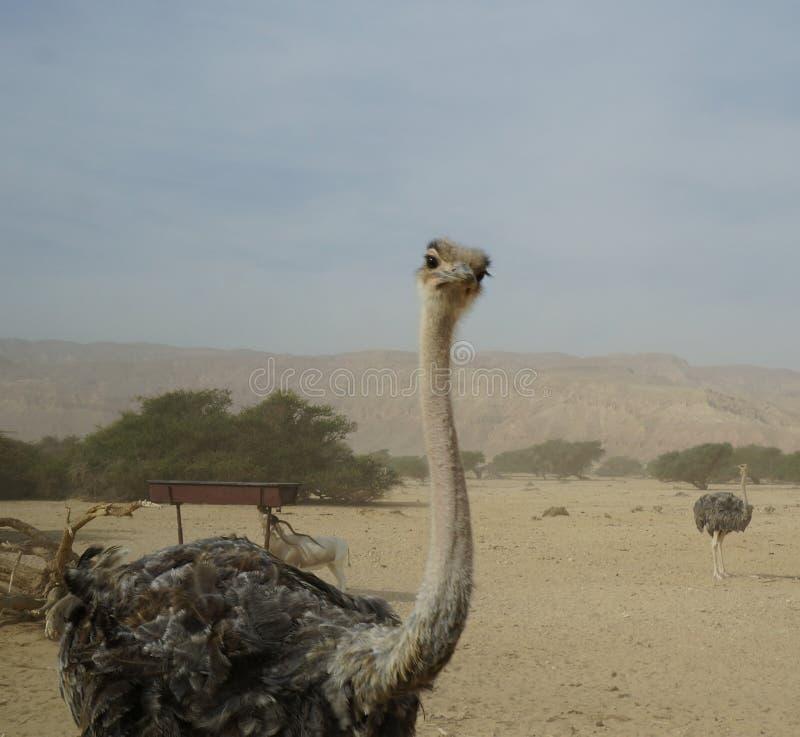 女性非洲驼鸟走 图库摄影