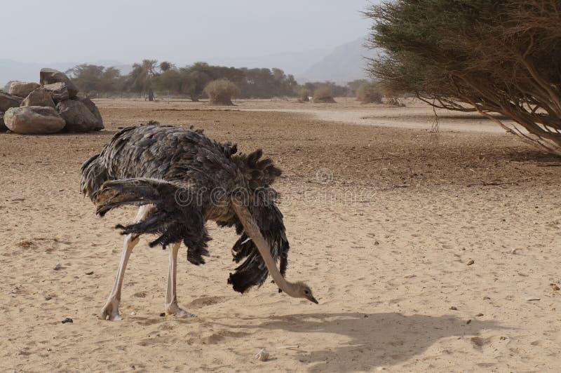 女性非洲驼鸟跳舞 免版税库存图片