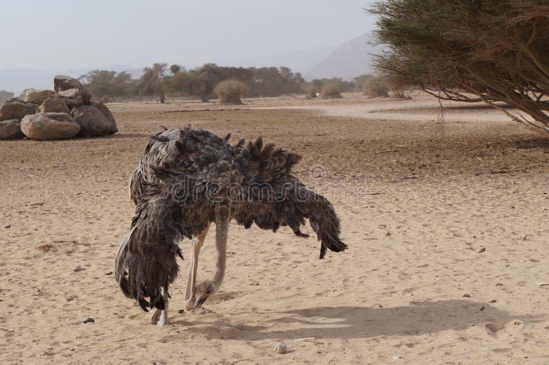 女性非洲驼鸟跳舞 库存图片