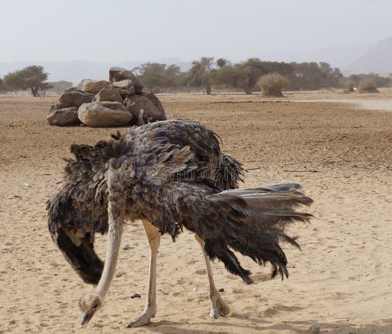 女性非洲驼鸟跳舞 免版税库存照片