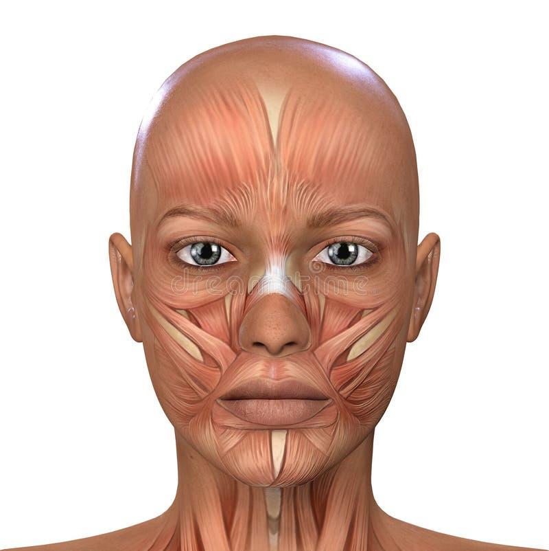 女性面孔干涉解剖学 库存例证