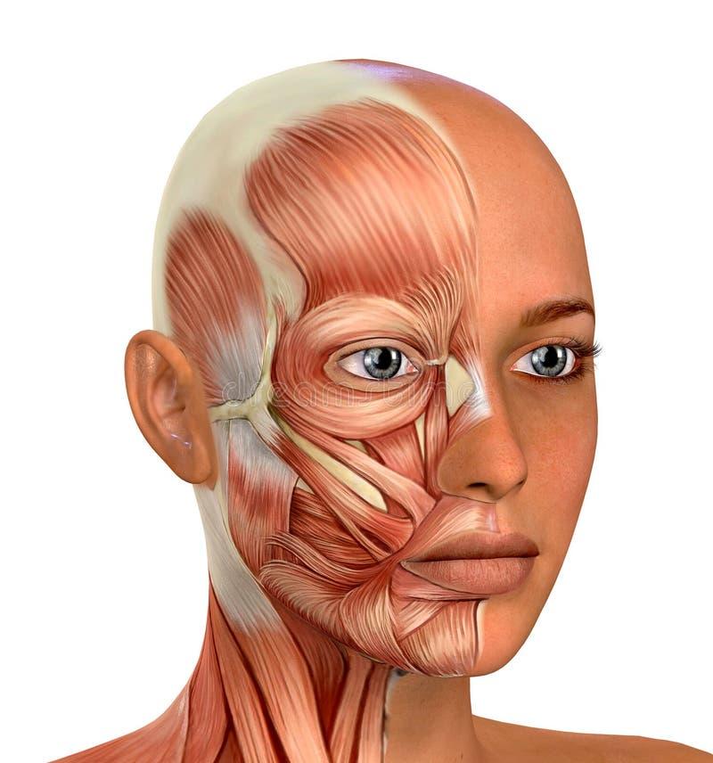 女性面孔干涉解剖学 皇族释放例证