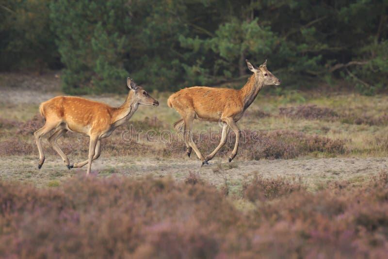 女性马鹿母鹿和小鹿鹿elaphus关闭 免版税库存照片