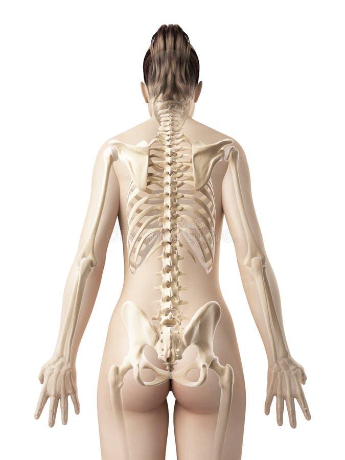 女性骨骼从后面 库存例证