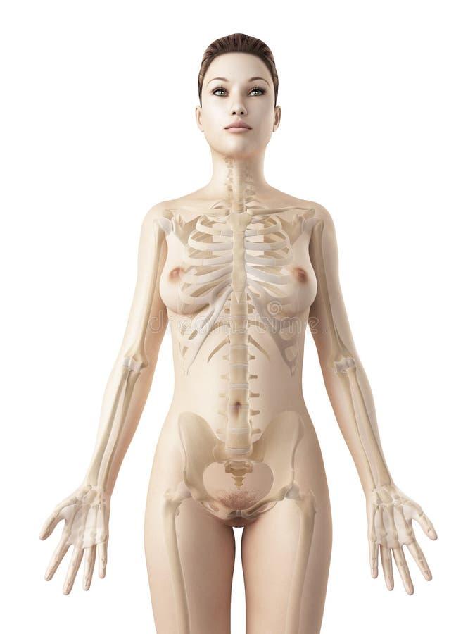 女性骨骼 库存例证