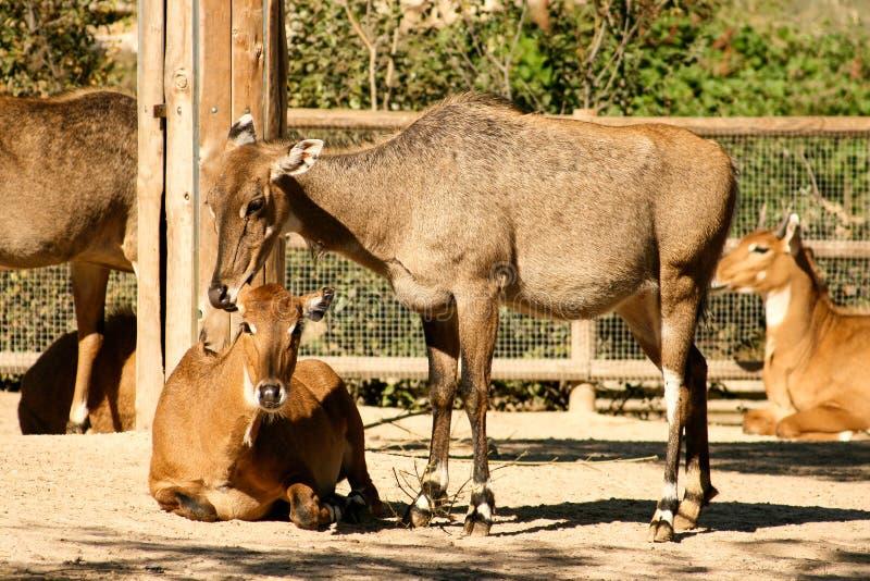 女性鹿鹿elaphus有她的小牛和家庭背景 免版税库存照片