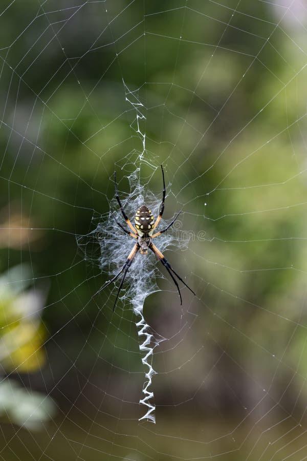 女性Argiope aurantia & x28; 黄色庭院Spider& x29; 库存照片