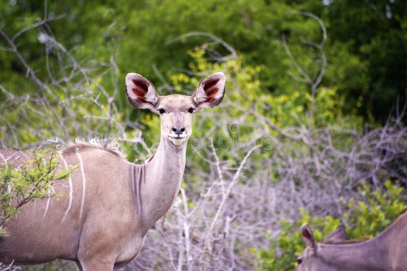 女性kudu 库存照片