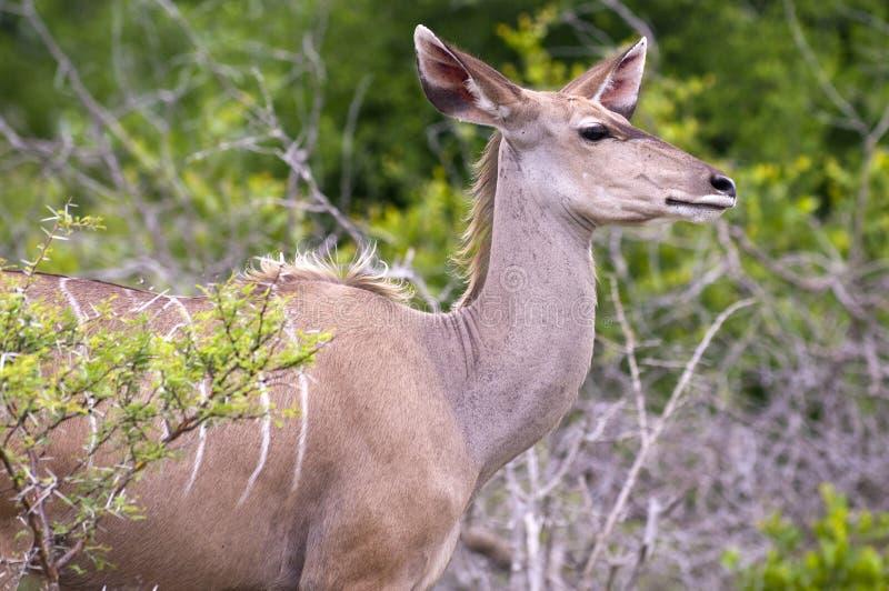 女性kudu 免版税图库摄影
