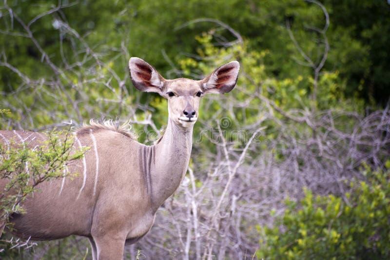 女性kudu 免版税库存照片