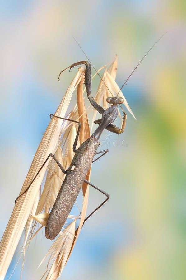 女性sphodromantis viridis 免版税库存照片
