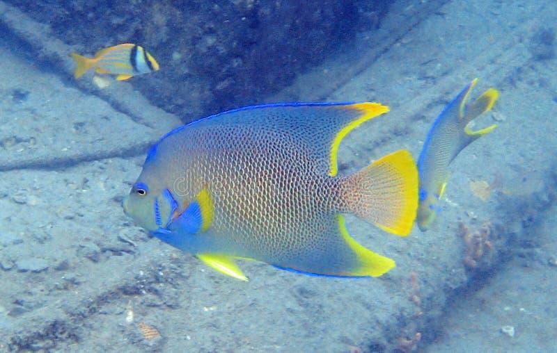 女王在岩石和珊瑚礁中的神仙鱼游泳 免版税图库摄影