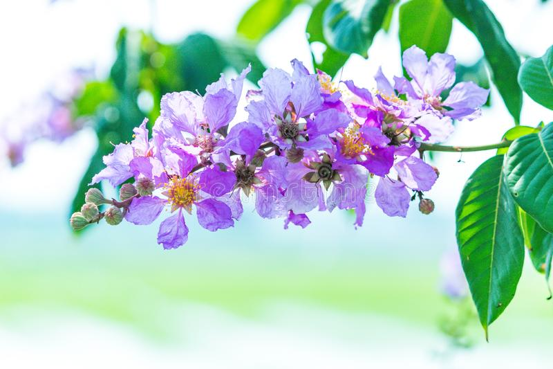 女王/王后的在被弄脏的背景的绉绸桃金娘花的美好的紫罗兰色颜色 免版税库存图片