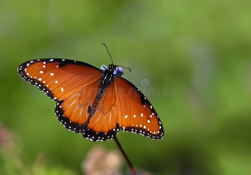 女王/王后蝴蝶(丹尼亚斯gilippus) 库存图片