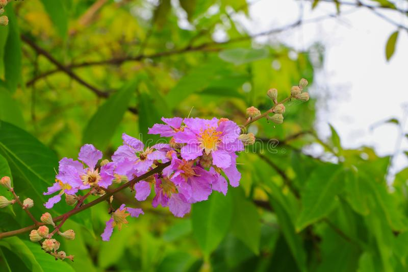 女王/王后` s花,紫薇macrocarpa墙壁 紫色美丽在树 库存照片
