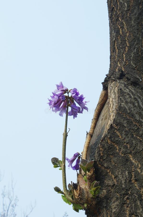 女皇花paulownia tomentosa结构树 库存图片