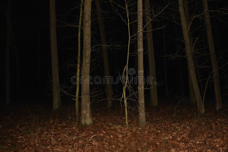 女睡衣森林在2018年11月10日的捷克旅游区Kersko 免版税库存照片