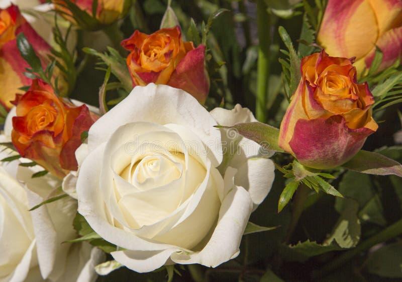 奶油色和红橙色玫瑰 库存图片