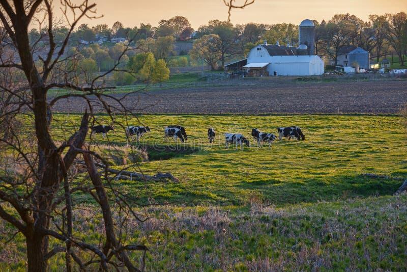 奶牛场和母牛在春天 免版税库存照片