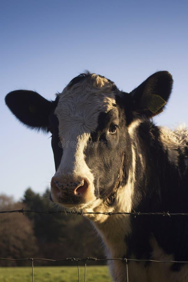 奶牛的画象 库存图片