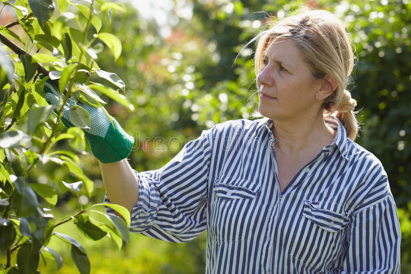 她查找成熟果树园结构树妇女 免版税库存图片