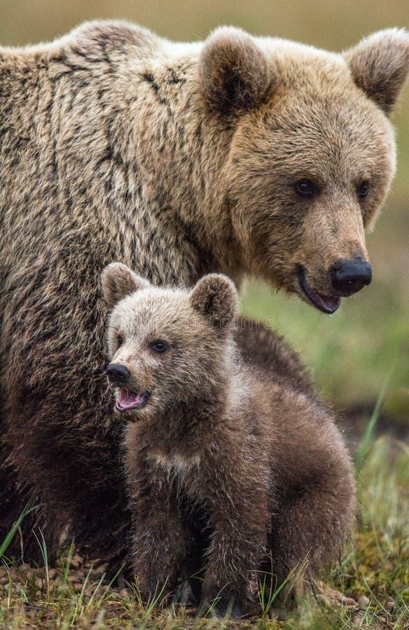 她熊和熊崽 Cub和棕熊成年女性在夏时的森林里 免版税库存照片