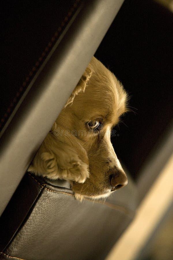 她的布朗小狗眼睛 库存照片