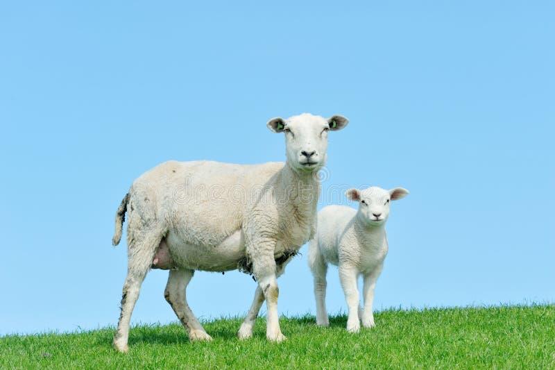她的羊羔母亲绵羊春天 库存图片