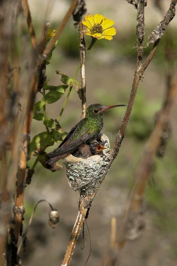 她的蜂鸟年轻人 免版税库存照片