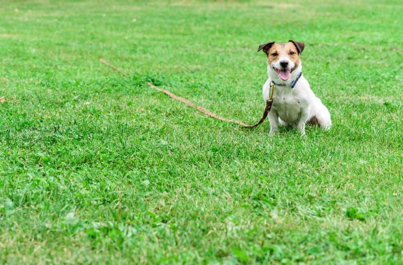 好公民狗训练:在领带长行皮带的杰克罗素狗坐地面 库存照片