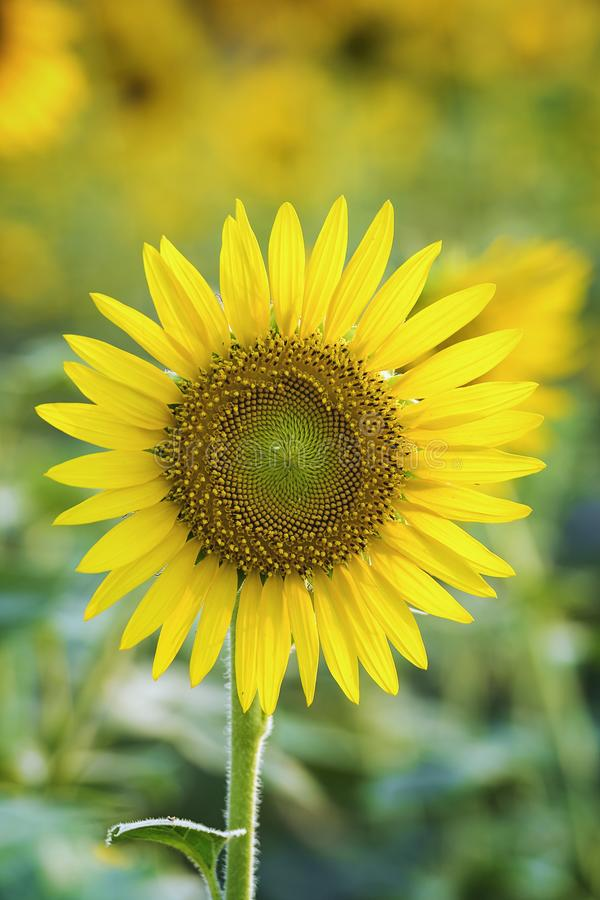好和温暖在夏天领域用开花的向日葵开花 图库摄影