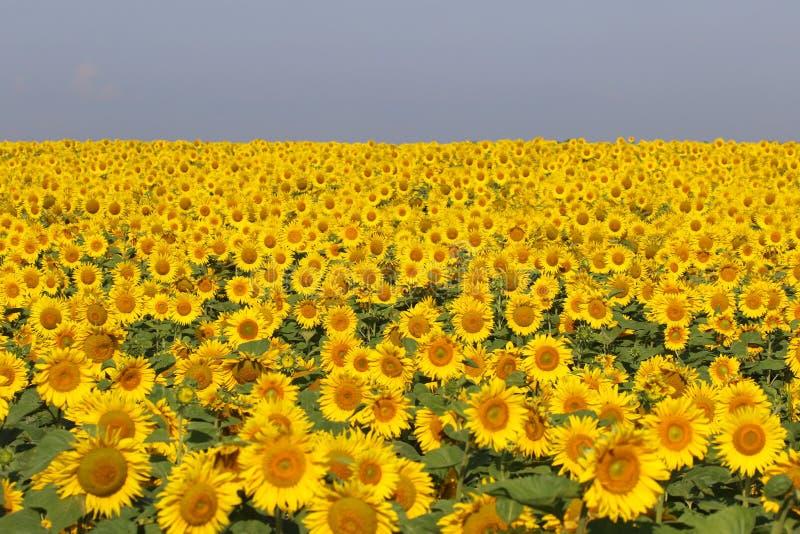好和温暖在夏天领域用开花的向日葵开花 免版税库存照片