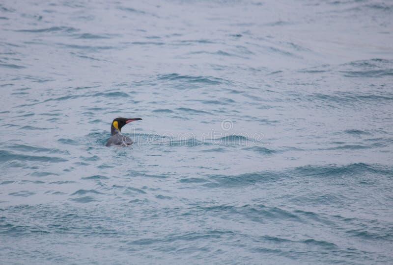 好奇企鹅国王在海洋 免版税图库摄影