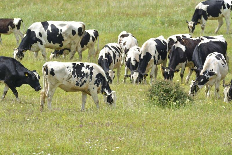 好奇听说的黑白色母牛 免版税库存图片