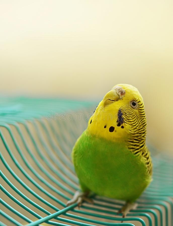 好奇地向上看绿色和黄色女性的Budgie 库存图片