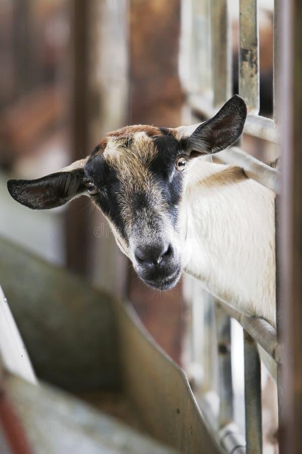 好奇山羊 免版税图库摄影