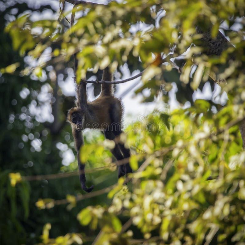 好奇幼小连斗帽女大衣猴子从树枝观看 库存图片