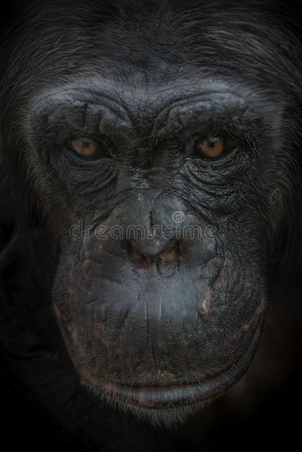 好奇想知道的母成人黑猩猩特写镜头画象在黑背景的 库存照片