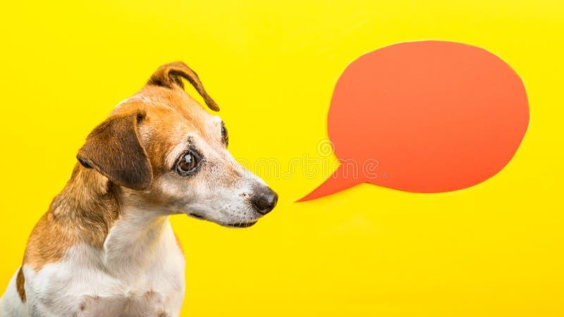 好奇想知道的要求的情感表示狗枪口 黄色背景和橙色演说序幕 滑稽的明亮的照片 库存图片