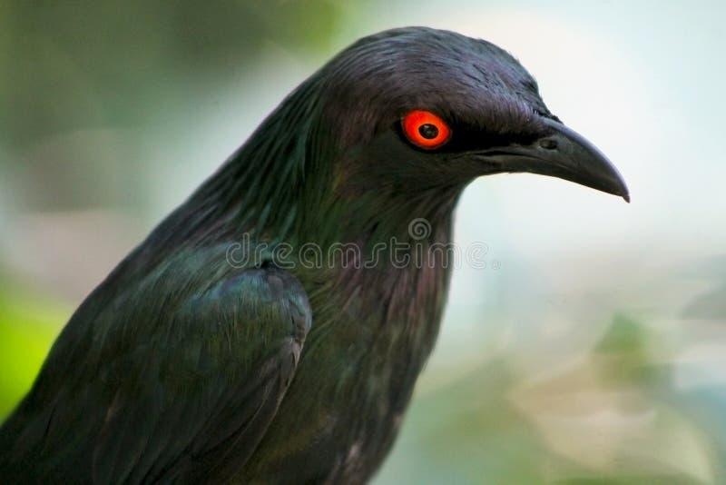 好奇更加了不起的青有耳的光滑的椋鸟科,Lamprotornis chalybaeus 库存图片