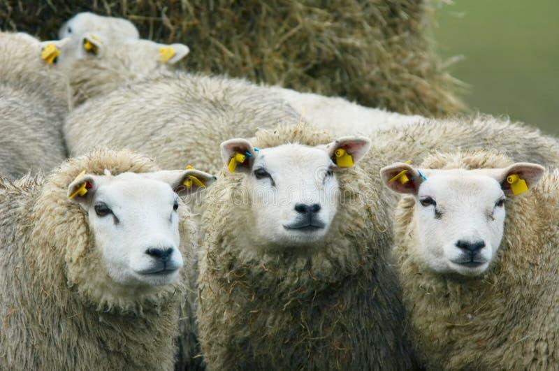 好奇查找的绵羊 免版税库存照片