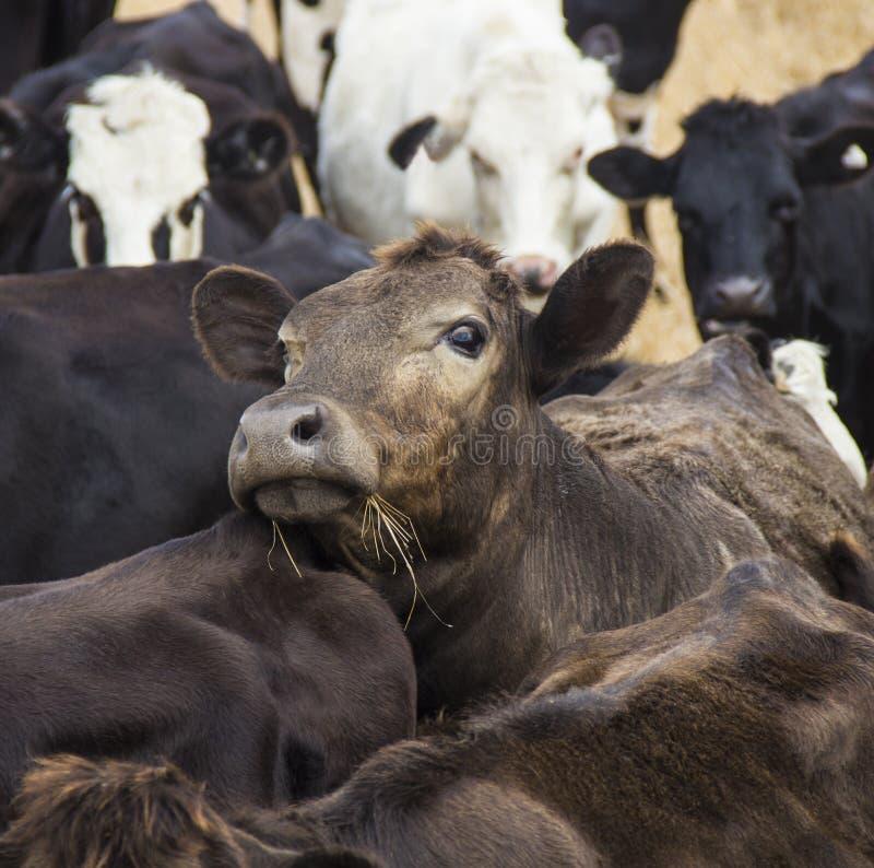 好奇棕色母牛从牧群看  免版税库存照片