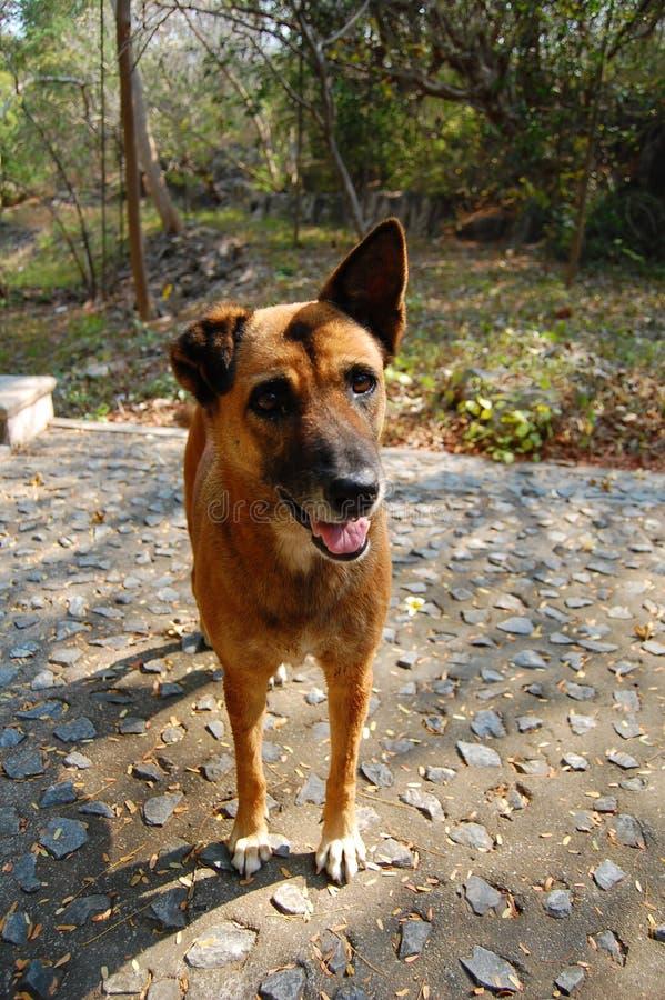 好奇棕色狗在庭院里 免版税库存照片