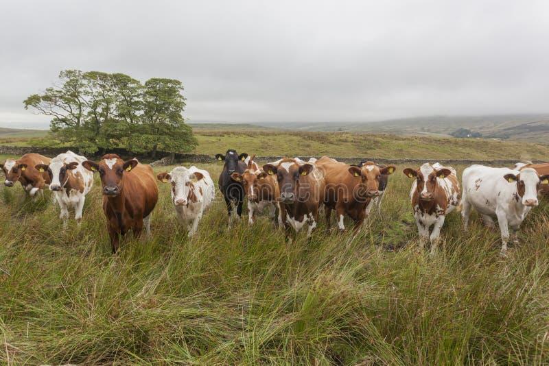 好奇母牛在约克夏 图库摄影