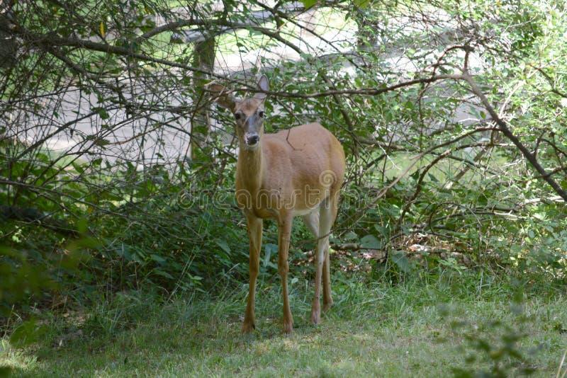 好奇母鹿 库存图片