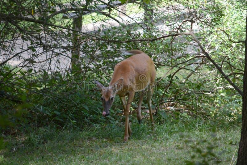 好奇母鹿 免版税库存照片