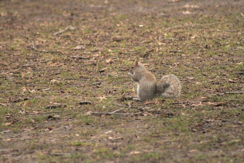 好奇灰色的灰鼠害羞和 图库摄影